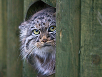 Pallas's cat in Moscow zoo